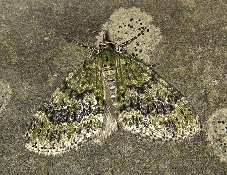 70.200 Yellow-barred Brindle, Acasis viretata, Co Louth