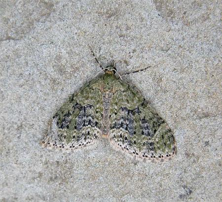 70.2 Yellow-barred Brindle, Acasis viretata, Co Wicklow