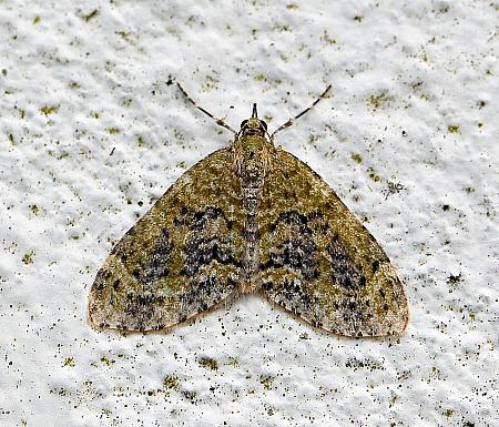 Yellow-barred Brindle, Acasis viretata, Co Donegal