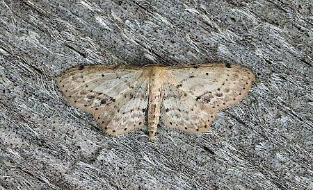 70.011 Single-dotted Wave, Idaea dimidiata, Co.Leitrim