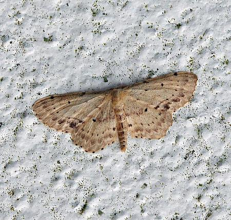 70.011 Single-dotted Wave, Idaea dimidiata, Co.Donegal