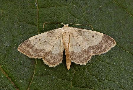 70.013 Small Fan-footed Wave, Idaea biselata, Co Wexford