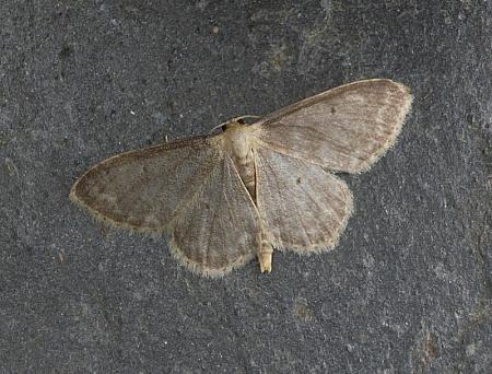 70.013 Small Fan-footed Wave, Idaea biselata, Co. Wicklow