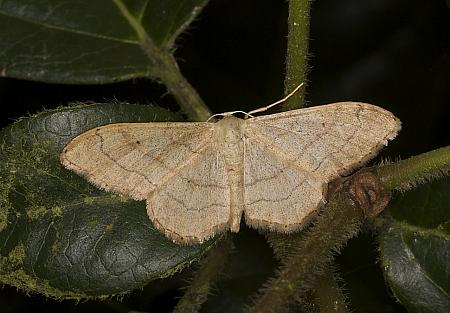 70.016 Riband Wave, Idaea aversata, Co Louth
