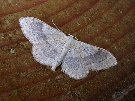 70.016 Riband Wave, Idaea aversata, Co. Meath