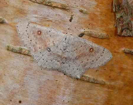 70.032 Birch Mocha, Cyclophora albipunctata, Co Wexford