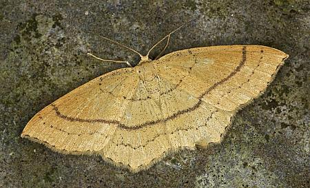 70.037 Clay Triple-lines, Cyclophora linearia, Co Louth