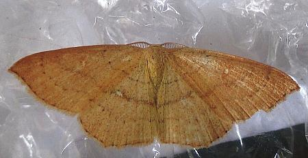 70.037 Clay Triple-lines, Cyclophora linearia, Co Cork