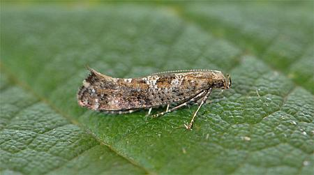 19.01 Digitivalva pulicariae, Co Wexford