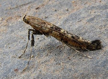 15.003 Caloptilia populetorum, Co Wicklow