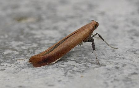 15.006 Caloptilia rufipennella, Co. Meath