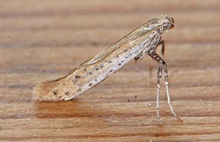 15.015 Aspilapteryx tringipennella, Co Wexford