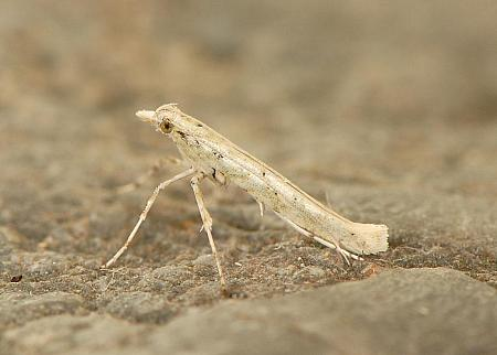 15.018 Povolnya leucapennella, Co. Wexford
