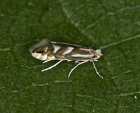 15.063 Phyllonorycter maestingella, Co Louth