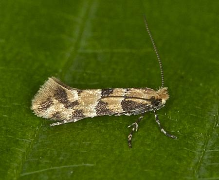 15.083 Phyllonorycter trifasciella, Co Louth