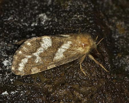3.004 Gold Swift, Phymatopus hecta, female, Co Louth