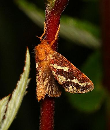 Gold Swift, Phymatopus hecta, Co Leitrim