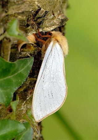 3.005 Ghost Moth, Hepialus humuli, male, Co Wexford