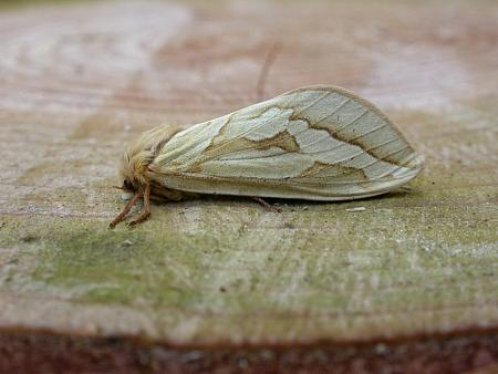 3.005 Ghost Moth, Hepialus humuli, female, Co. Meath