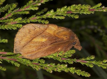 66.010 Drinker, Euthrix potatoria, Co Louth