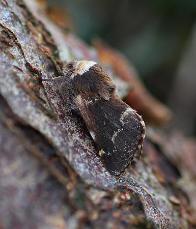 December Moth, Poecilocampa populi, Co. Donegal