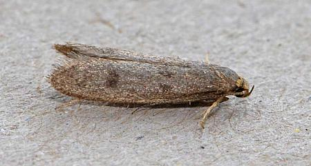 30.003 Pseudatemelia josephinae, Co Wexford