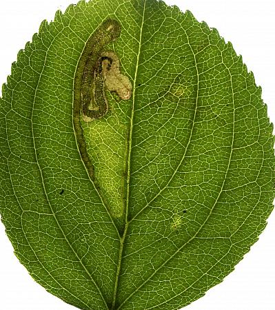 4.014 Stigmella catharticella, Co Fermanagh