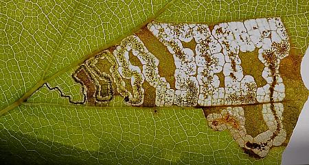 4.034 Stigmella tityrella, Co Louth