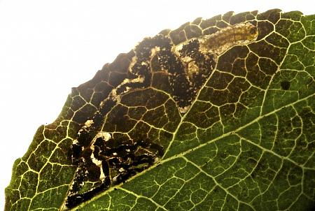 4.036 Stigmella myrtillella, Co Louth