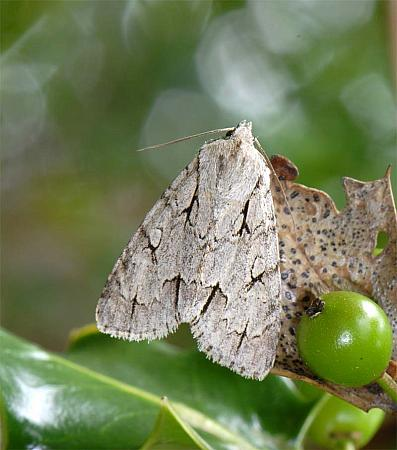 73.038 Grey Dagger, Acronicta psi, Co Wexford