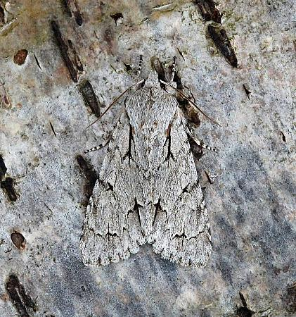 Grey Dagger, Acronicta psi, Co Leitrim