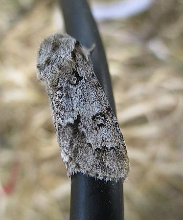 73.042 Light Knot Grass, Acronicta menyanthidis, Co Galway