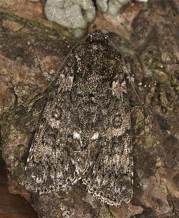 73.045 Knot Grass, Acronicta rumicis, Co Louth