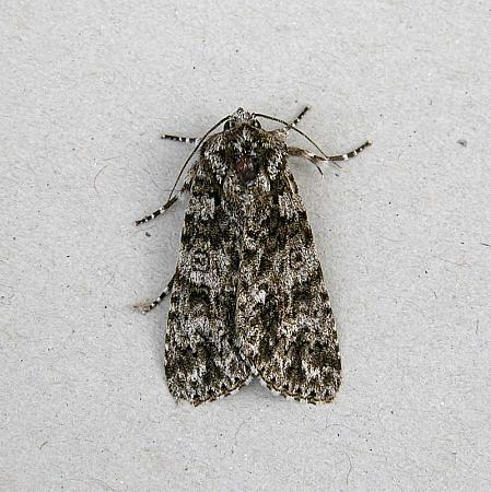 73.045 Knot Grass, Acronicta rumicis, Co Wexford