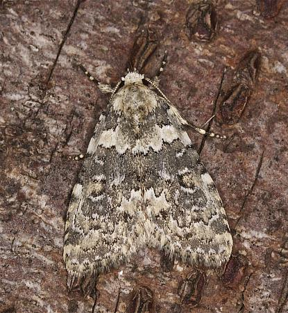 73.084 Marbled Beauty, Cryphia domestica, Co Louth