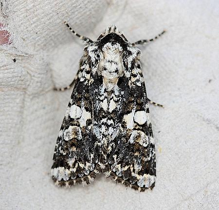 73.283 Marbled Coronet, Hadena confusa, Co Down