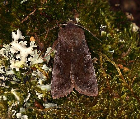 73.242 Clouded Drab, Orthosia incerta, Co Louth