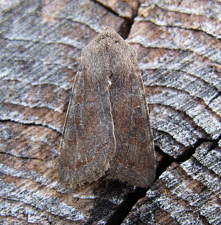 Clouded Drab, Orthosia incerta, Co Leitrim