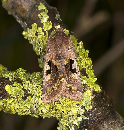 73.249 Hebrew Character, Orthosia gothica, Co Louth