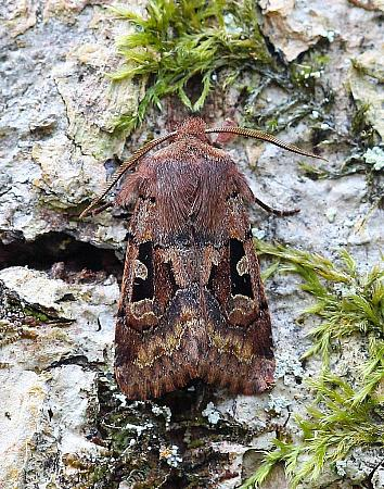 Hebrew Character Orthosia gothica, Co Leitrim