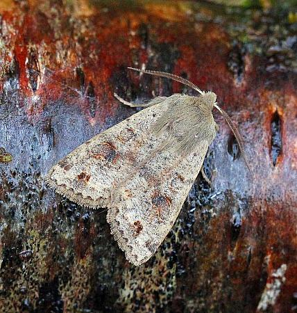 Twin-spotted Quaker, Orthosia munda, Co Donegal