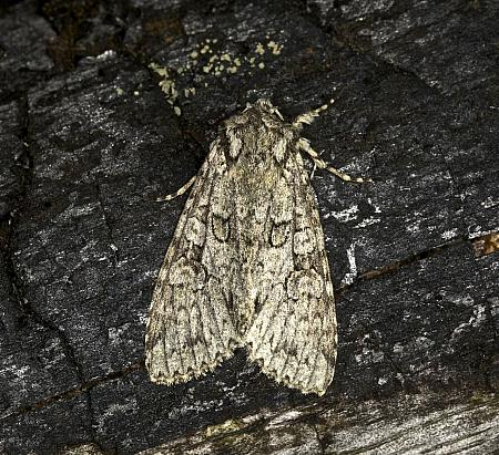 73.261 Grey Arches, Polia nebulosa, Co Louth