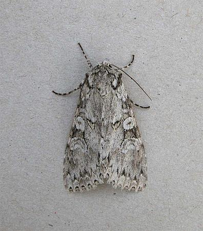 73.261 Grey Arches, Polia nebulosa, Co Wicklow