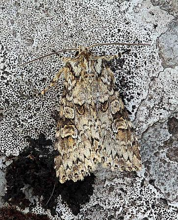 Grey Arches, Polia nebulosa, Co Donegal