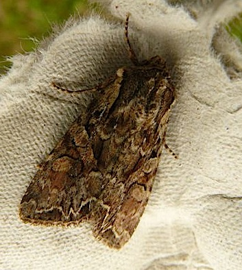 73.264 Pale-shouldered Brocade, Lacanobia thalassina, Co Cork