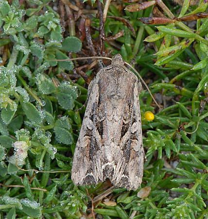 73.266 Dog's Tooth, Lacanobia suasa, Co Wexford