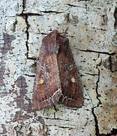 Bright-line Brown-eye, Lacanobia oleracea, Co Leitrim