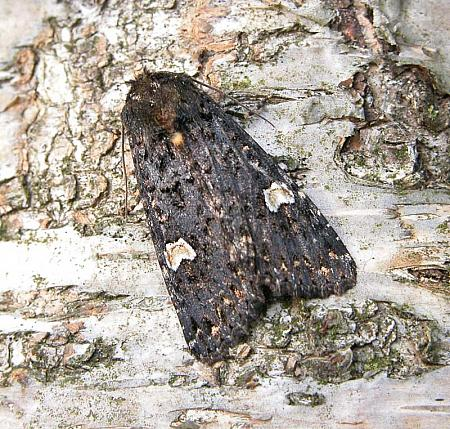 73.27 Dot Moth, Melanchra persicariae, Co Wicklow