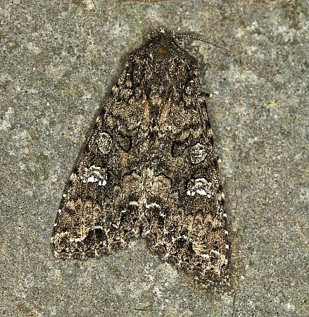 73.274 Cabbage Moth, Mamestra brassicae, Co Louth