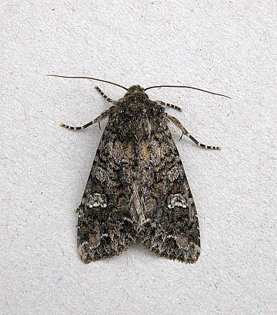 73.274 Cabbage Moth, Mamestra brassicae, Co Wexford